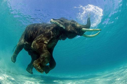 © Nurkujący słoń indyjski, Jeff Yonover, USA