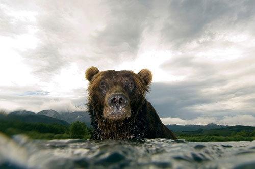 © Gniewne spojrzenie niedźwiedzia, Siergiej Gorszkow, Rosja